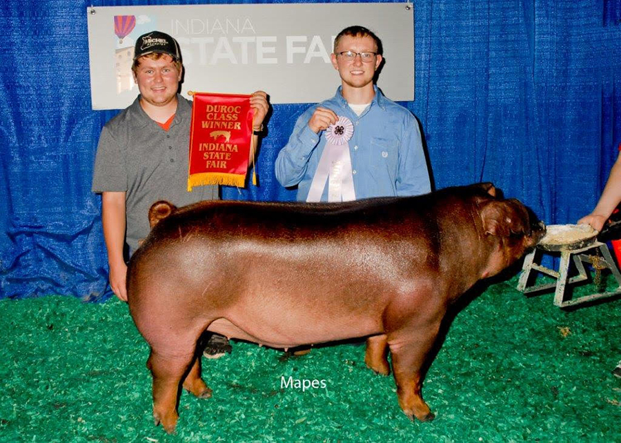 Reserve Champion Senior Division Duroc Gilt, 2016 Indiana State Fair - Troy Michel
